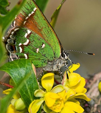 jahairstreak