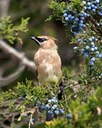 wlwaxwing